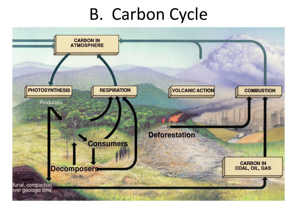B. Carbon Cycle