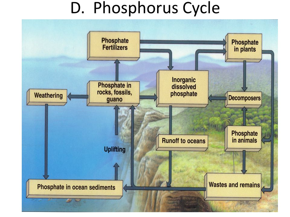 D. Phosphorus Cycle
