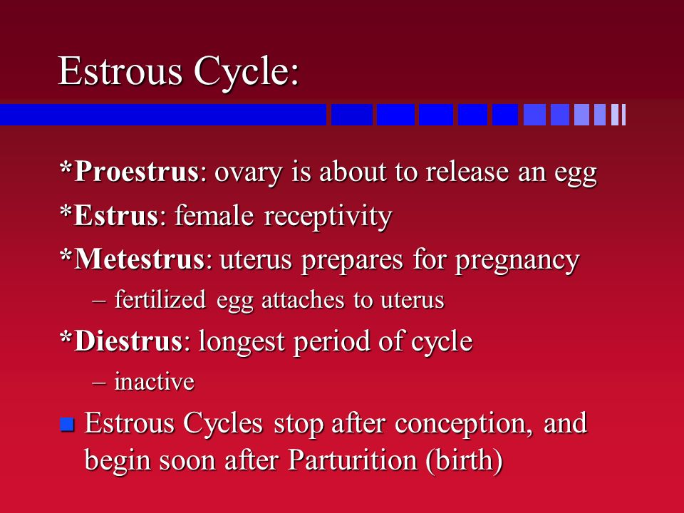 Estrous Cycle: *Proestrus: ovary is about to release an egg