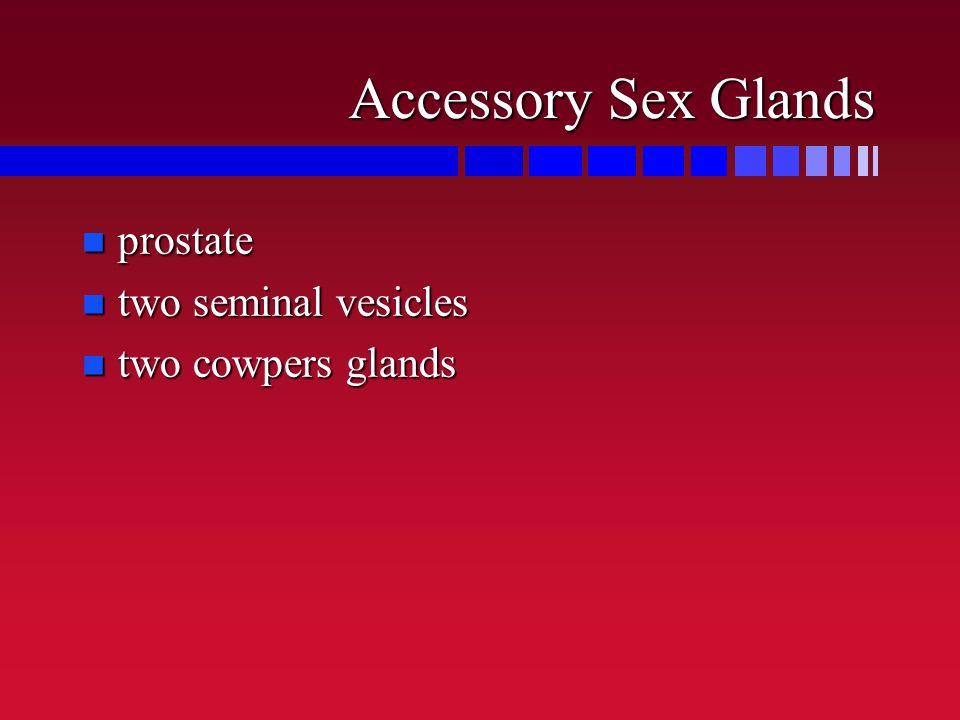 Accessory Sex Glands prostate two seminal vesicles two cowpers glands