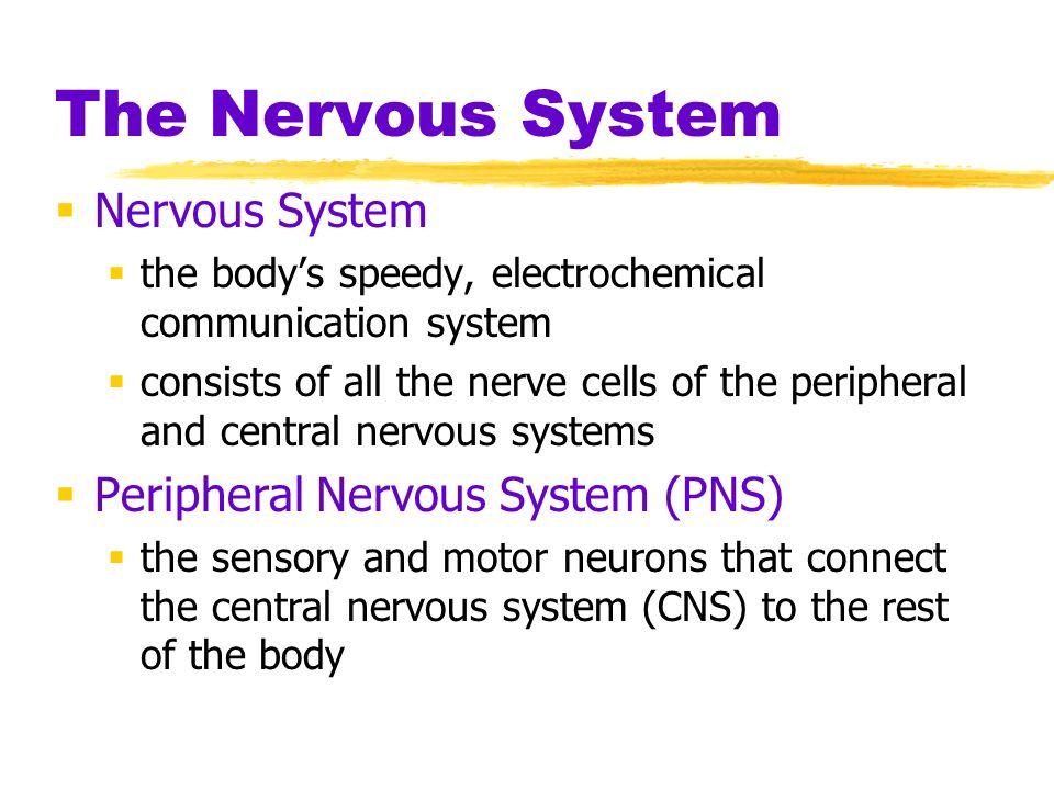 The Nervous System Nervous System Peripheral Nervous System (PNS)