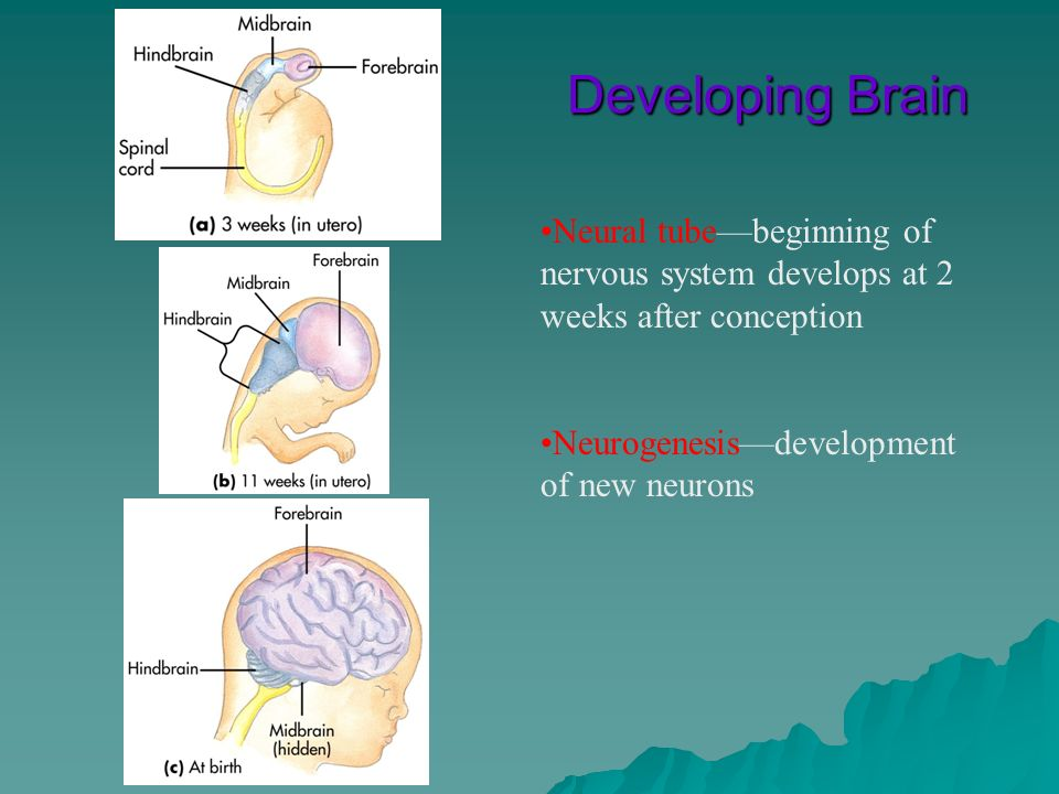 Developing BrainNeural tube—beginning of nervous system develops at 2 weeks after conception.