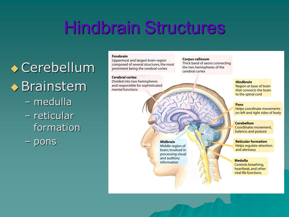 Hindbrain Structures Cerebellum Brainstem medulla reticular formation