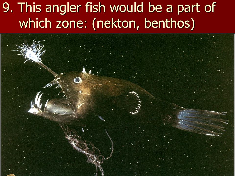 9. This angler fish would be a part of which zone: (nekton, benthos)