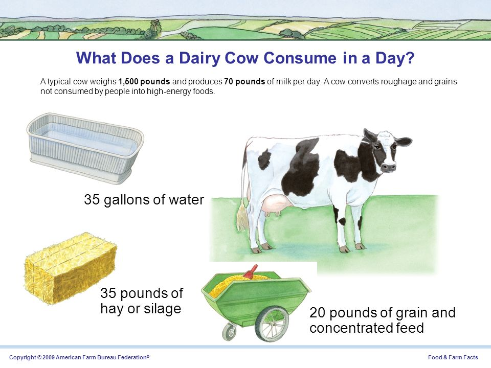 What Does a Dairy Cow Consume in a Day
