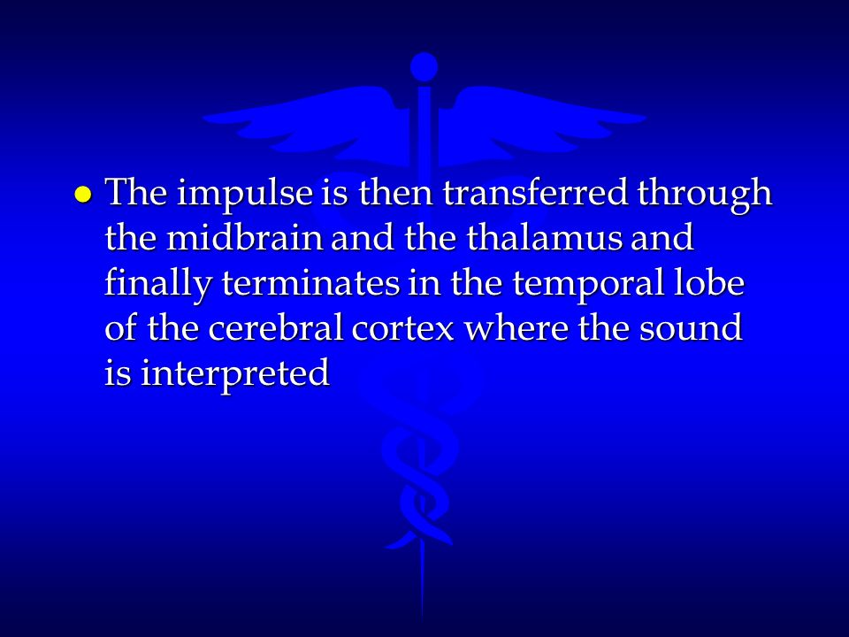 The impulse is then transferred through the midbrain and the thalamus and finally terminates in the temporal lobe of the cerebral cortex where the sound is interpreted
