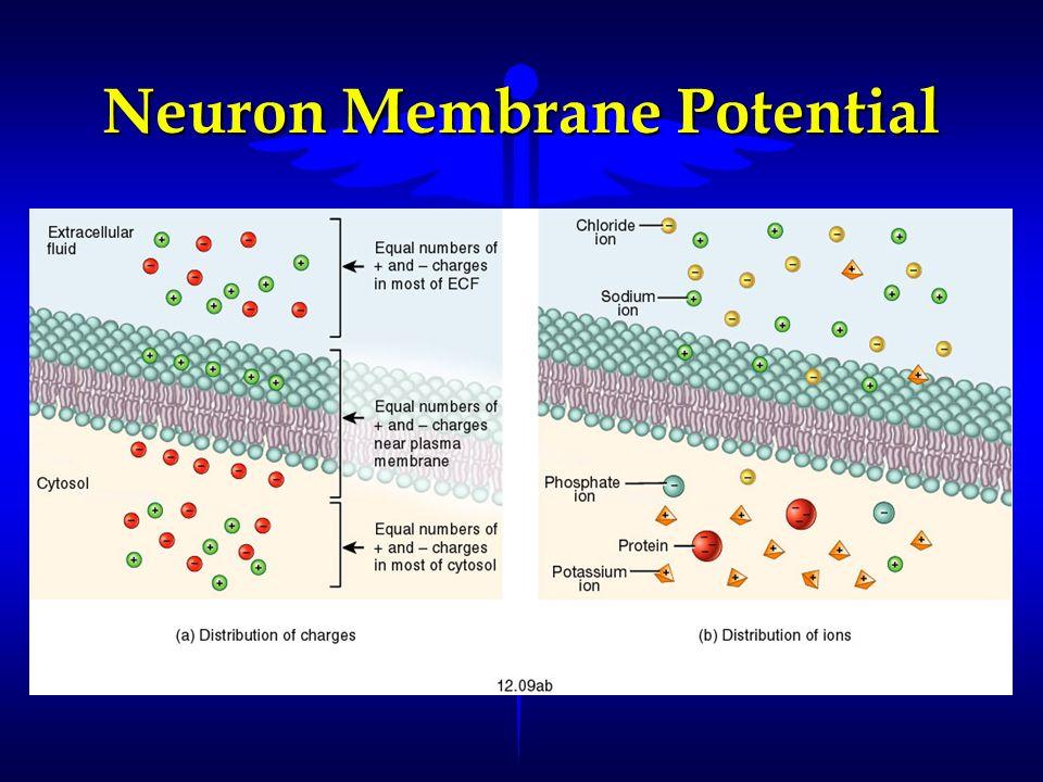 Neuron Membrane Potential