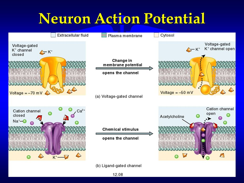 Neuron Action Potential