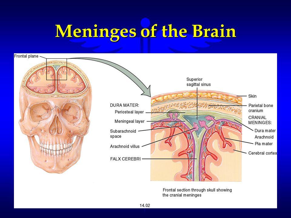 Meninges of the Brain