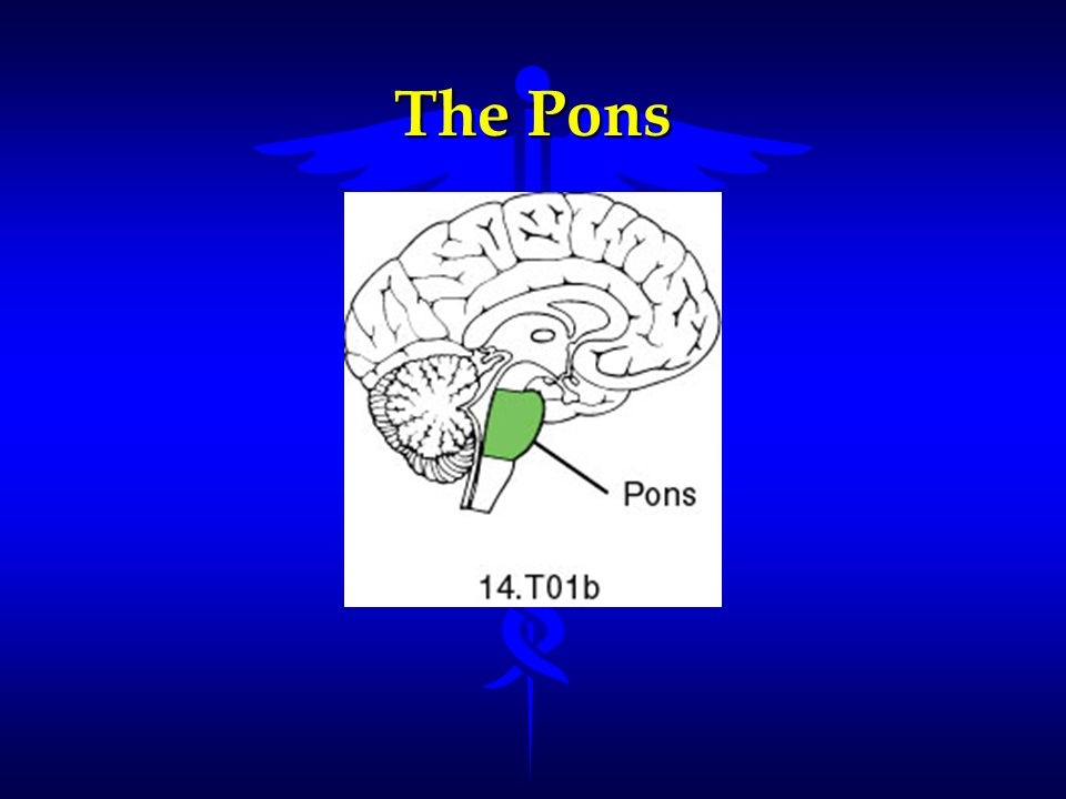 The Pons