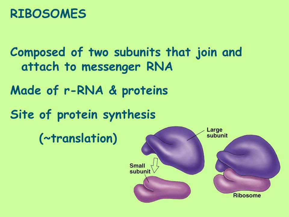 RIBOSOMES Composed of two subunits that join and attach to messenger RNA. Made of r-RNA & proteins.