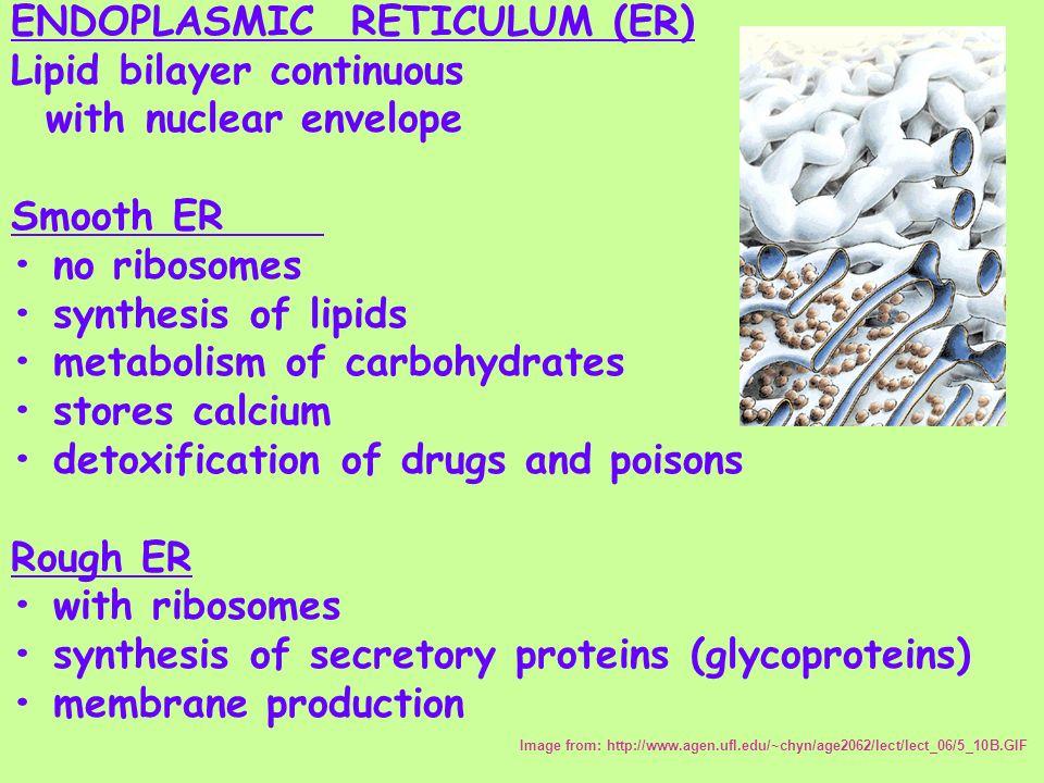 ENDOPLASMIC RETICULUM (ER) Lipid bilayer continuous