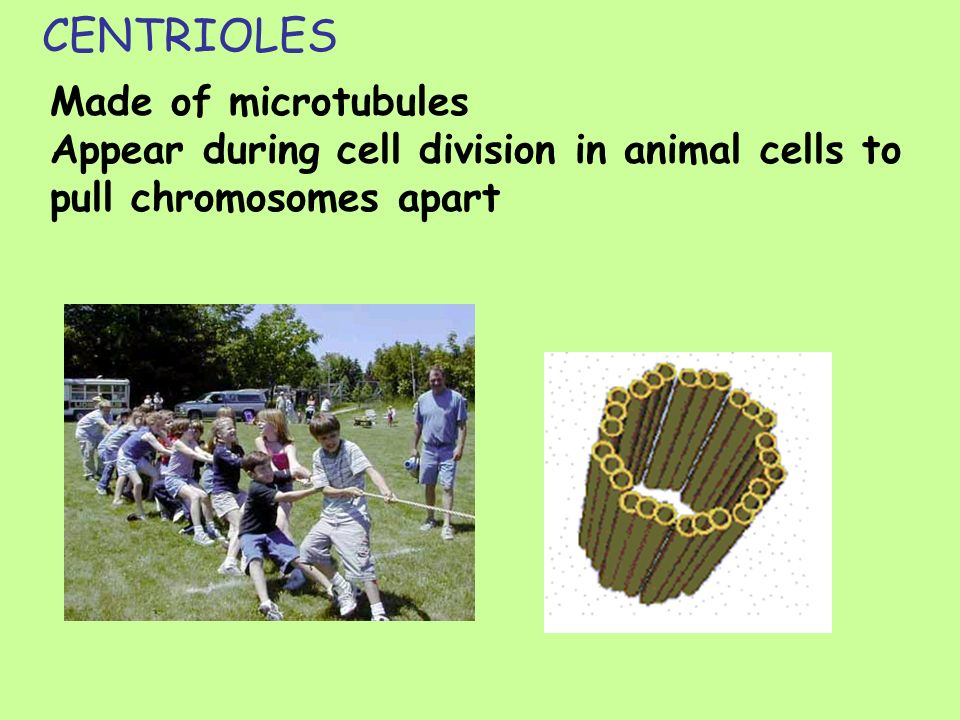 CENTRIOLES Made of microtubules Appear during cell division in animal cells to pull chromosomes apart.