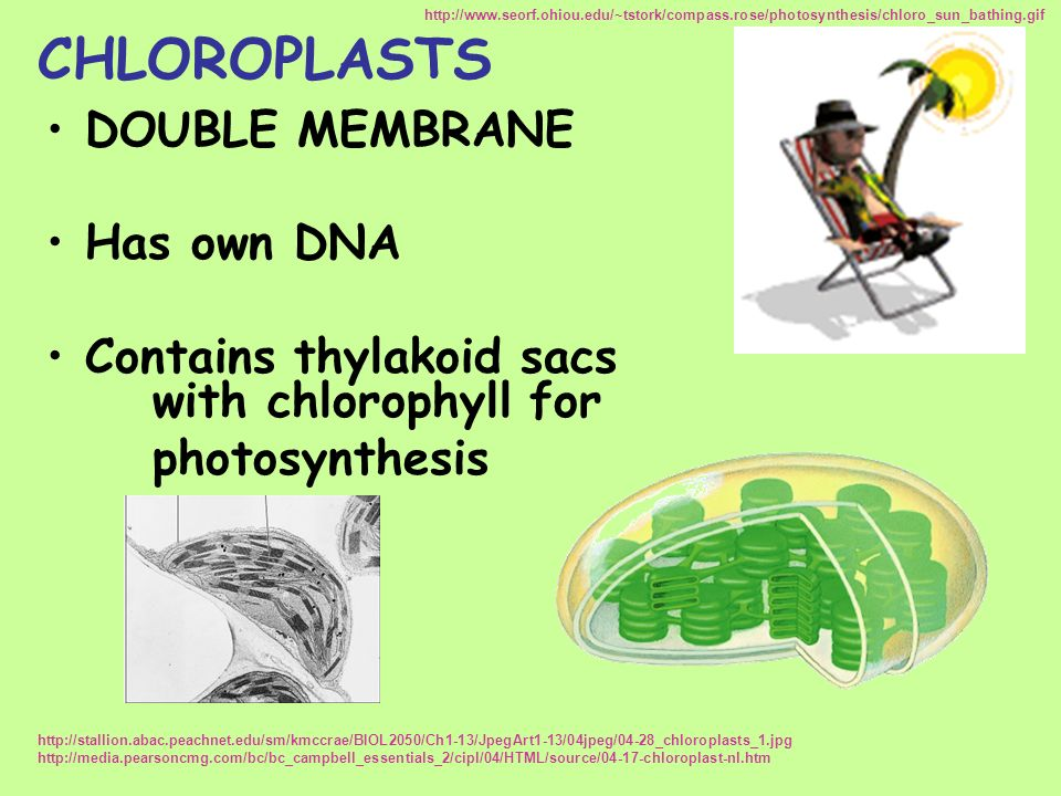 CHLOROPLASTS DOUBLE MEMBRANE Has own DNA