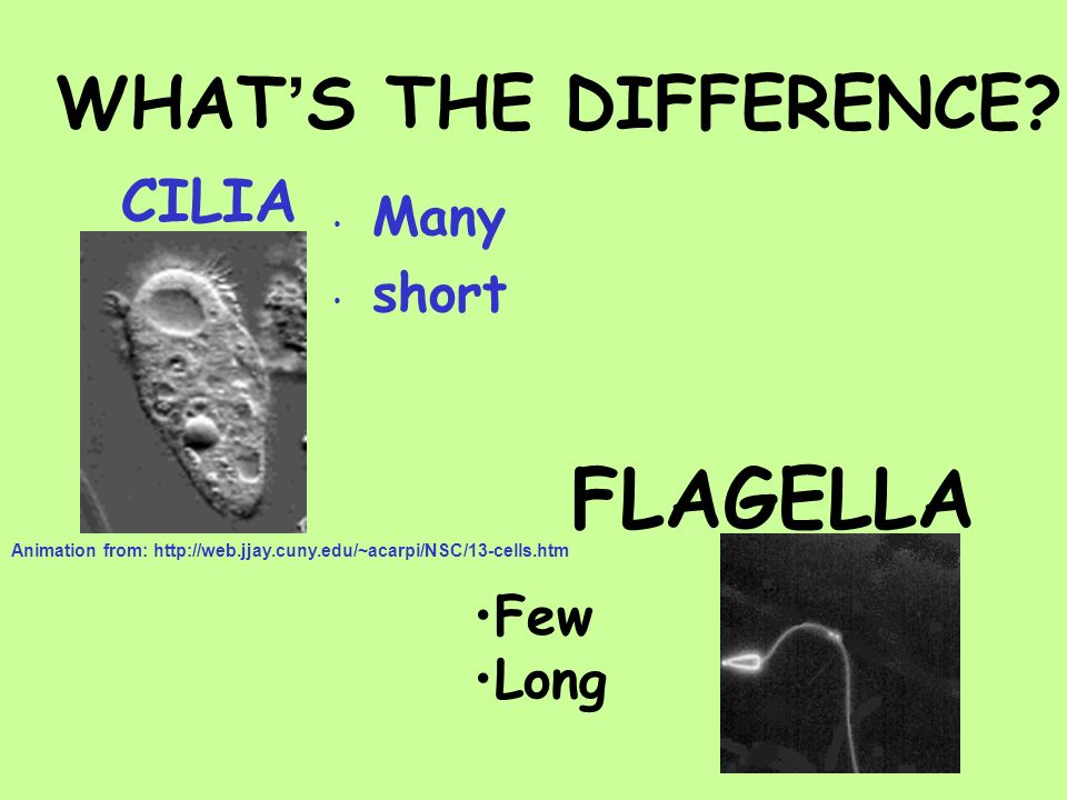 FLAGELLA WHAT'S THE DIFFERENCE CILIA Many short Few Long