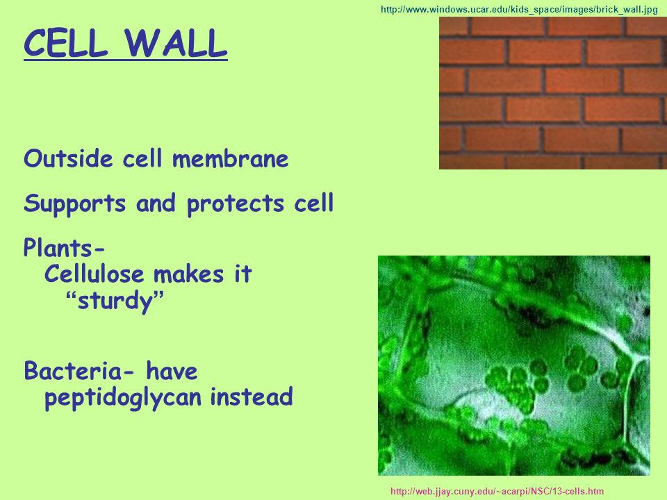 CELL WALL Outside cell membrane Supports and protects cell