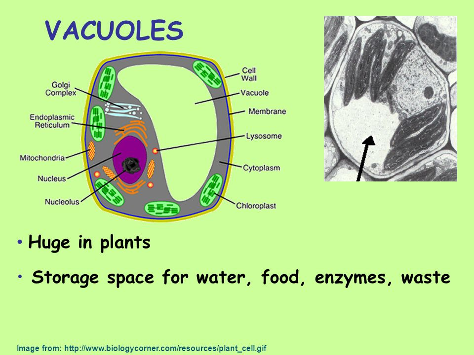 VACUOLES Huge in plants Storage space for water, food, enzymes, waste