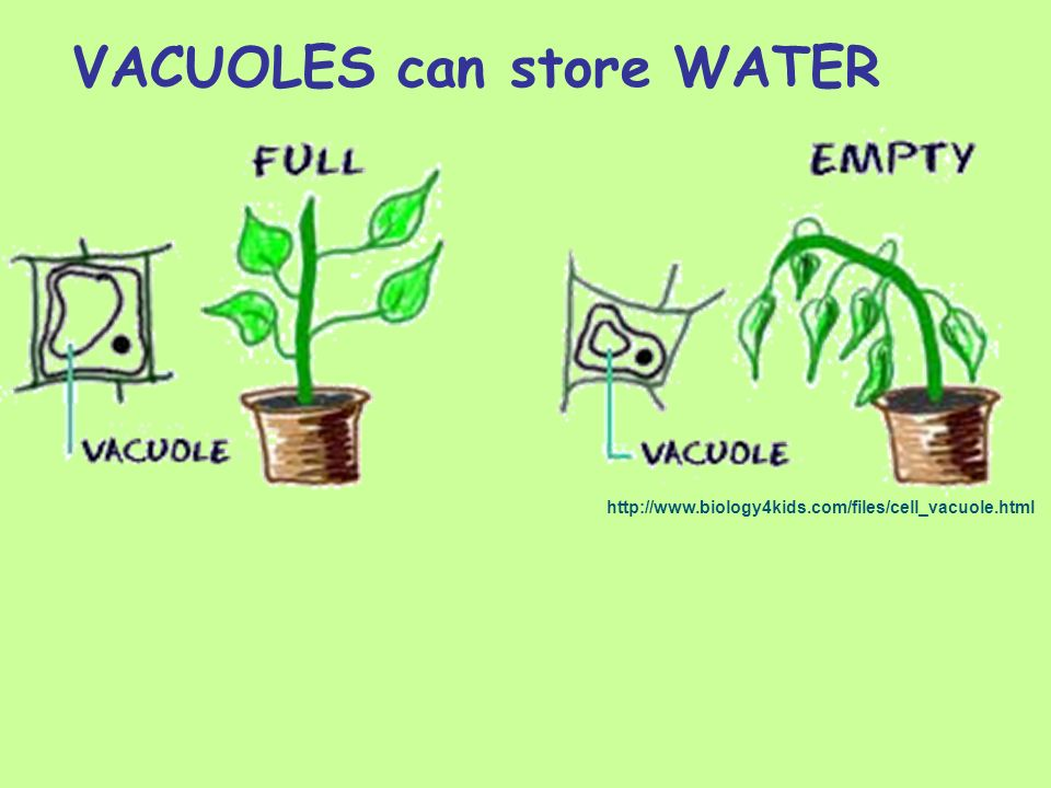 VACUOLES can store WATER