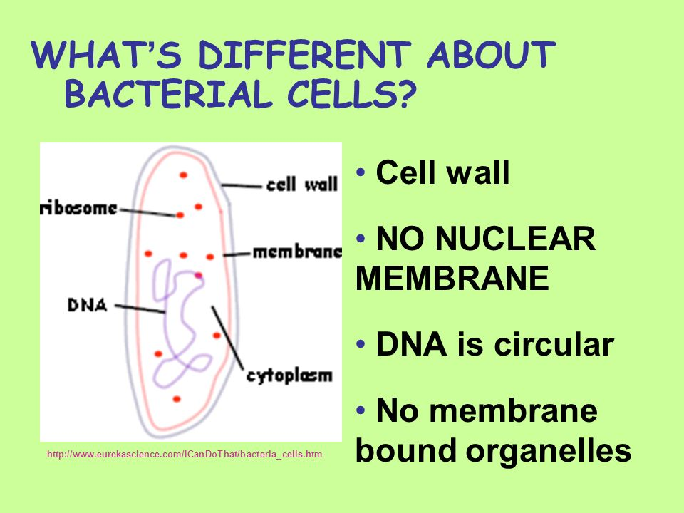 WHAT'S DIFFERENT ABOUT BACTERIAL CELLS