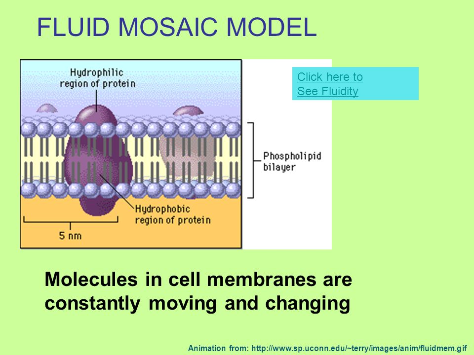 FLUID MOSAIC MODEL Click here to See Fluidity. Molecules in cell membranes are constantly moving and changing.