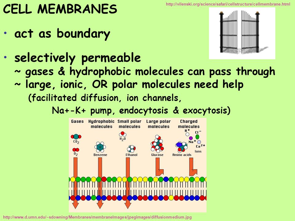CELL MEMBRANES act as boundary