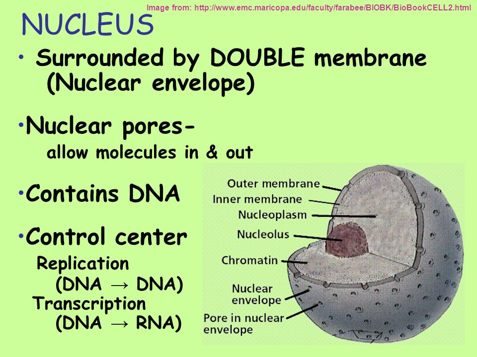 NUCLEUS Surrounded by DOUBLE membrane (Nuclear envelope)