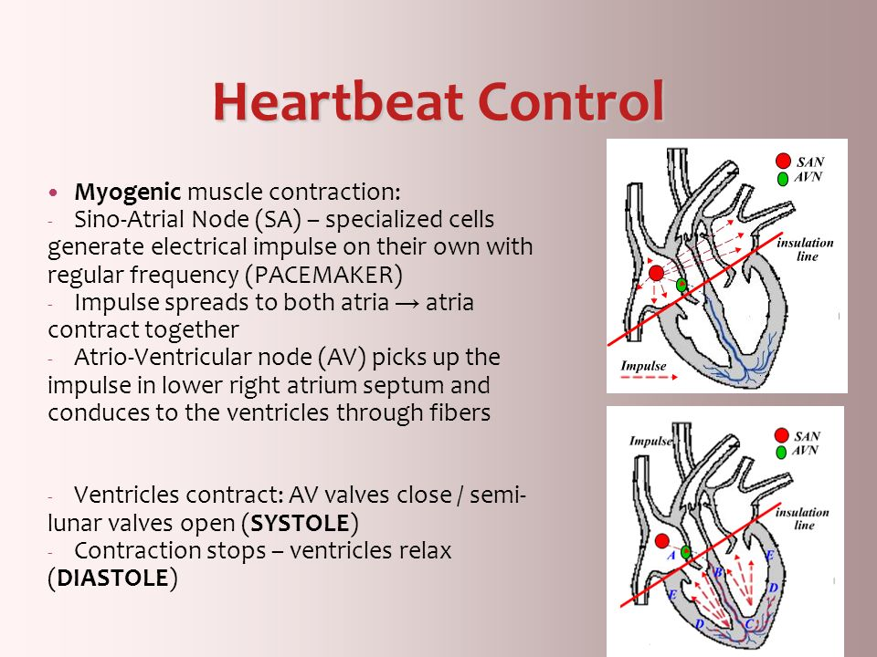 Heartbeat Control Myogenic muscle contraction: