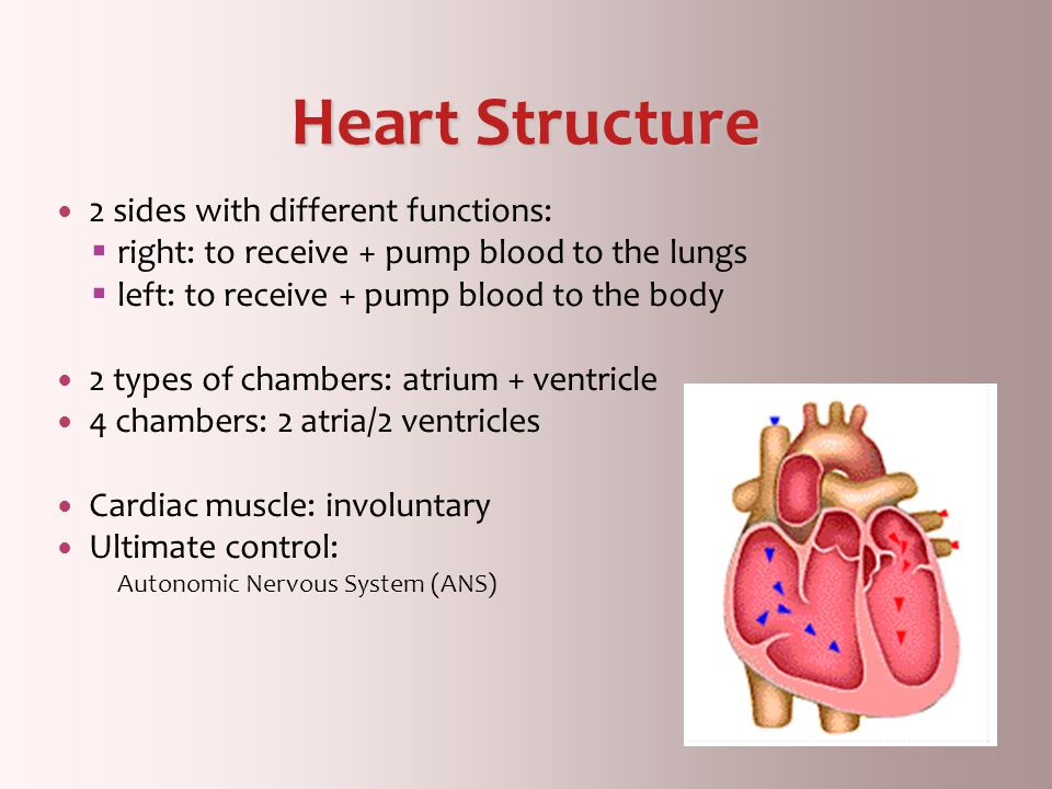 Heart Structure 2 sides with different functions:
