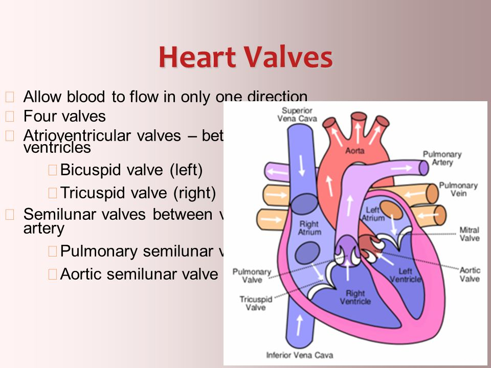 Heart Valves Allow blood to flow in only one direction Four valves
