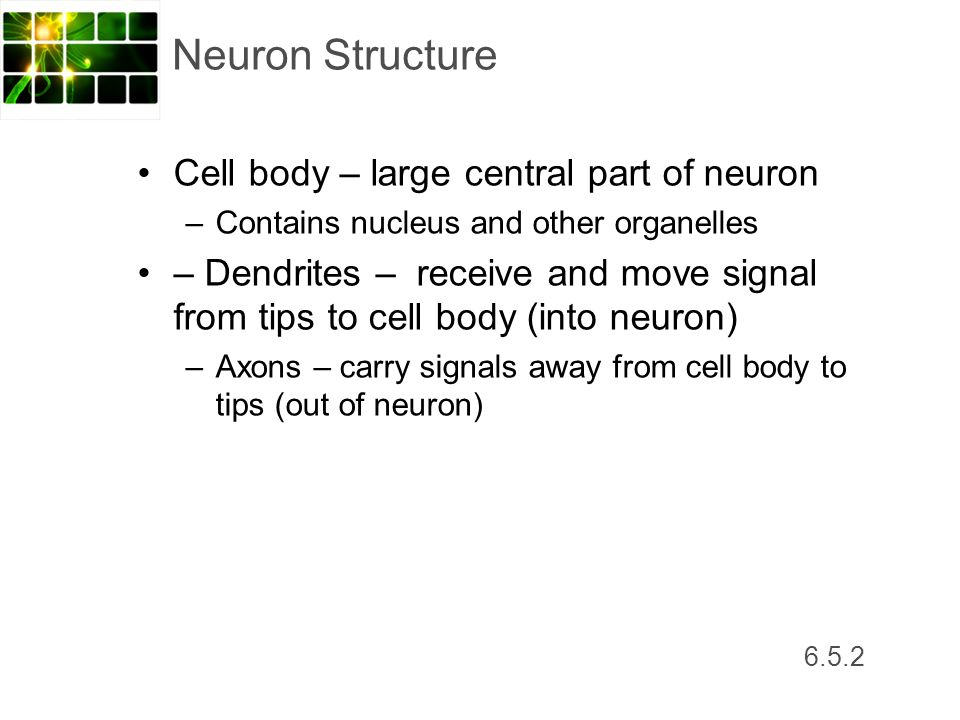 Neuron Structure Cell body – large central part of neuron