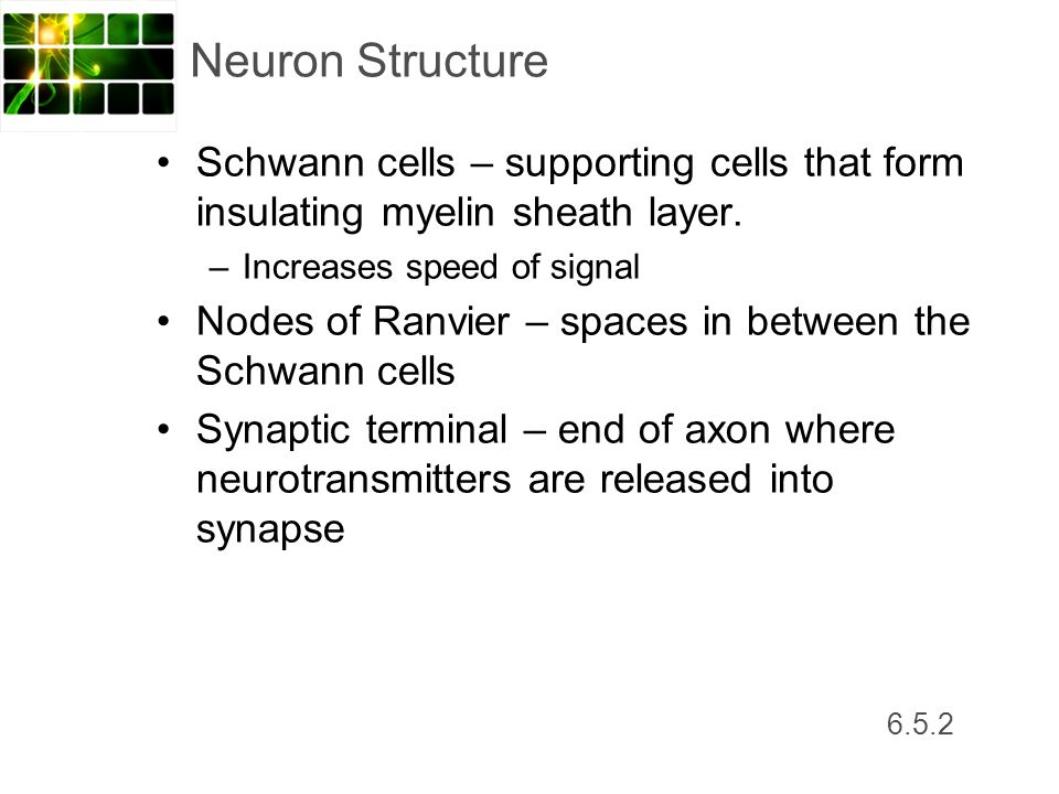 Neuron Structure Schwann cells – supporting cells that form insulating myelin sheath layer. Increases speed of signal.