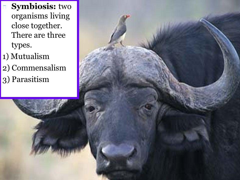 buffalo and cowbird commensalism relationship