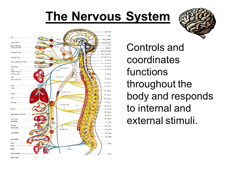 The Nervous System Controls and coordinates functions throughout the body and responds to internal and external stimuli.