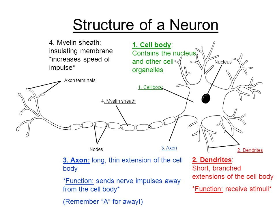 Structure of a Neuron 4. Myelin sheath: insulating membrane *increases speed of impulse*