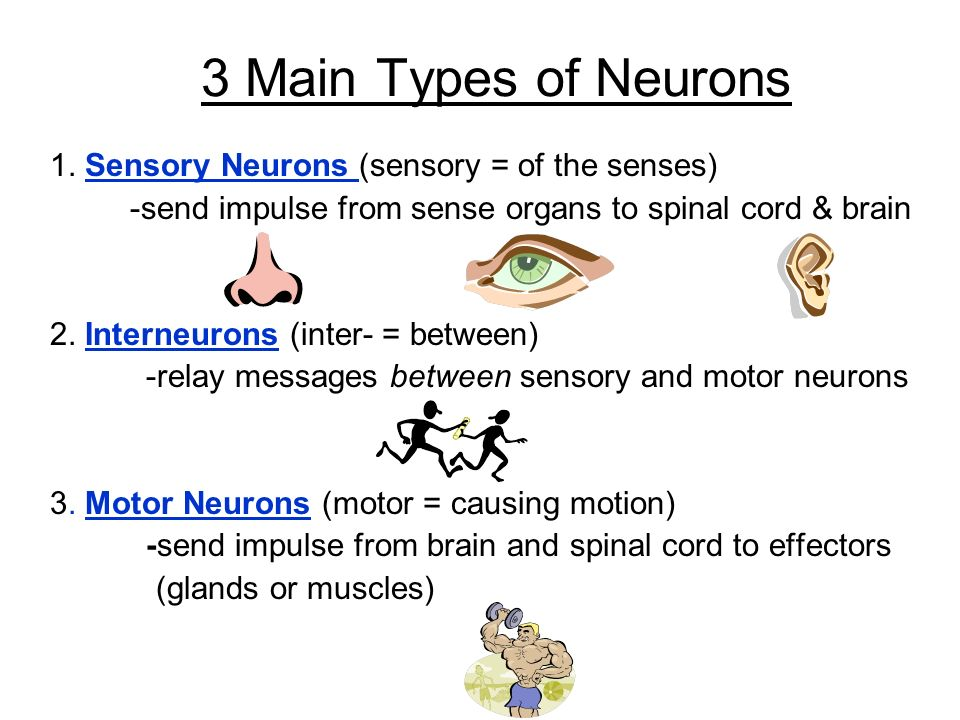3 Main Types of Neurons 1. Sensory Neurons (sensory = of the senses)
