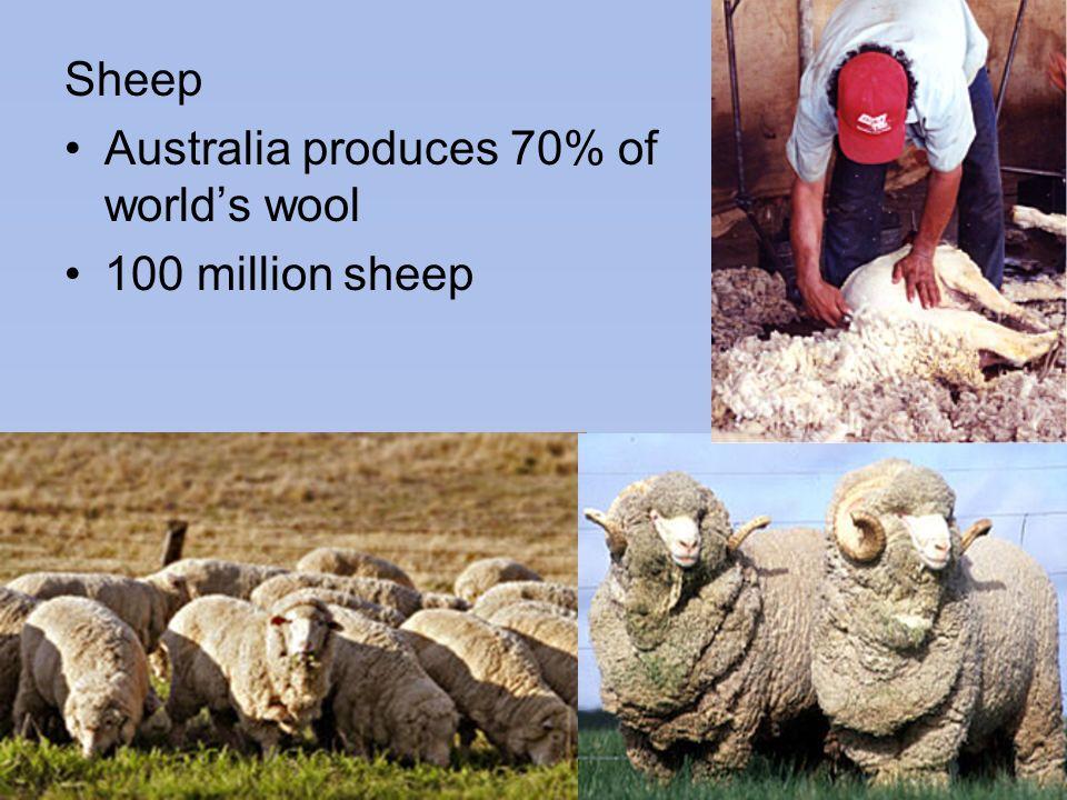 Sheep Australia produces 70% of world's wool 100 million sheep