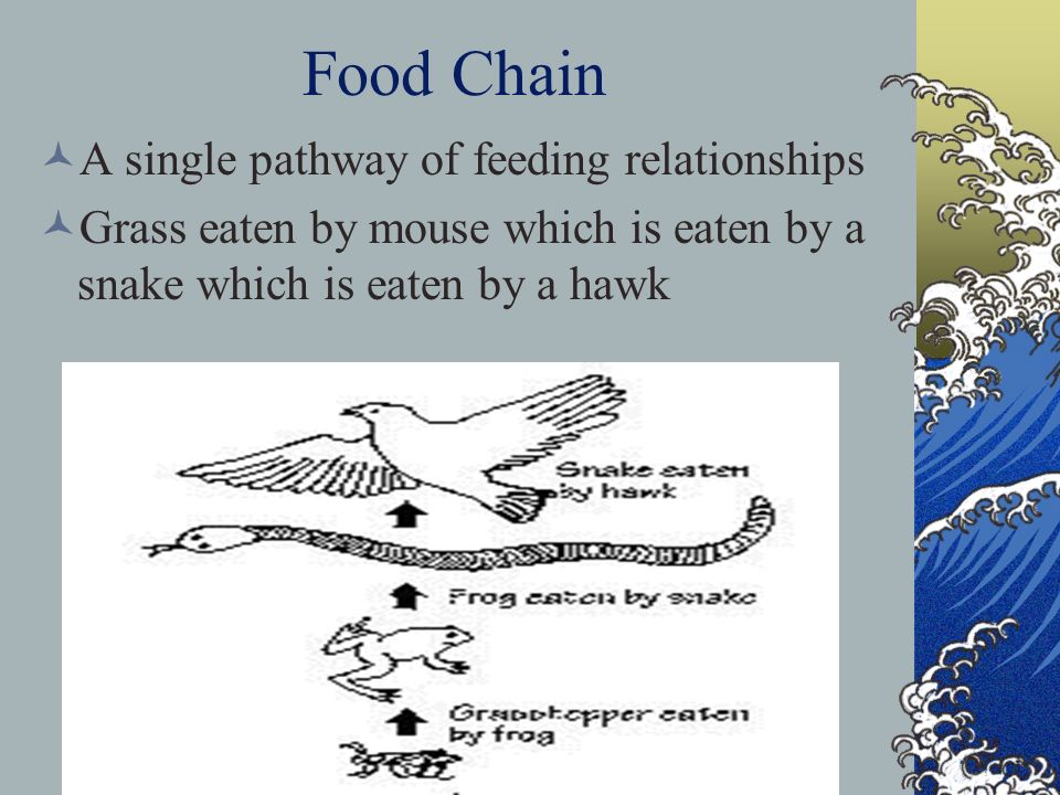Food Chain A single pathway of feeding relationships