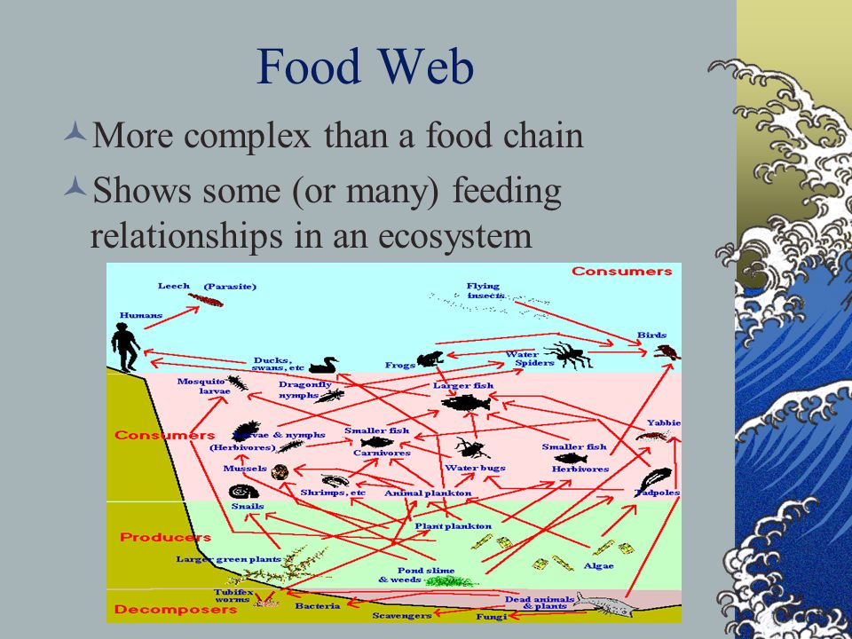 Food Web More complex than a food chain