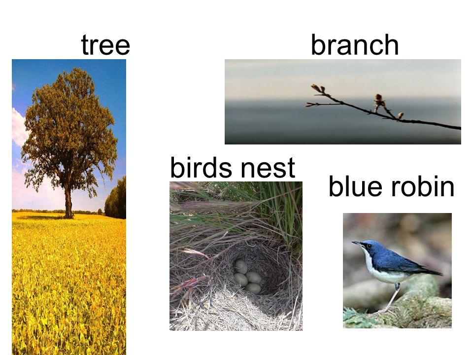 tree branch birds nest blue robin