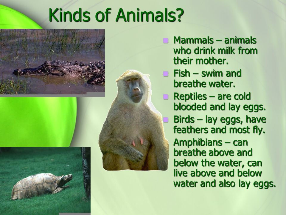 Kinds of Animals Mammals – animals who drink milk from their mother.