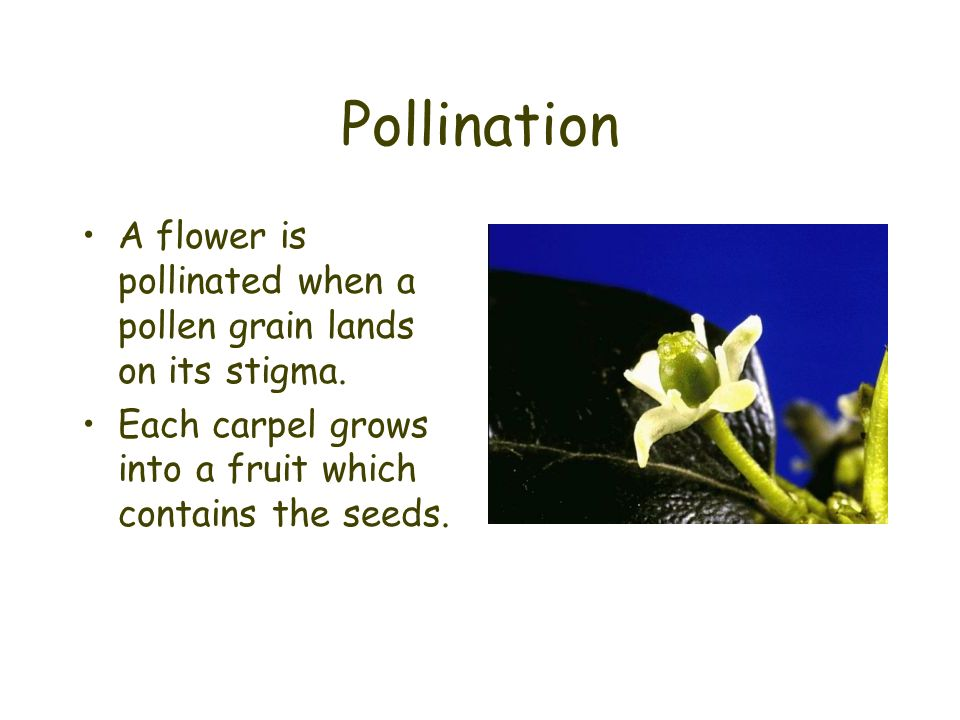 Pollination A flower is pollinated when a pollen grain lands on its stigma.