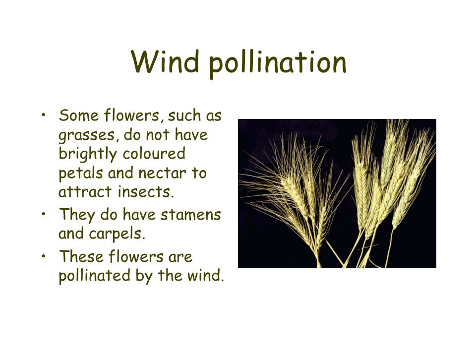 Wind pollination Some flowers, such as grasses, do not have brightly coloured petals and nectar to attract insects.