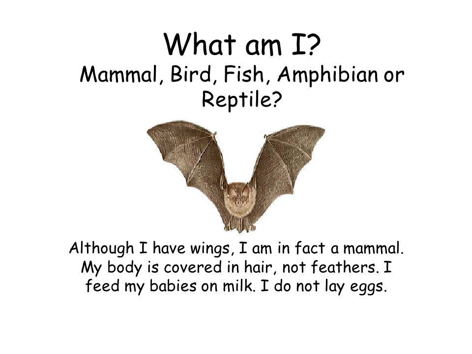 What am I Mammal, Bird, Fish, Amphibian or Reptile