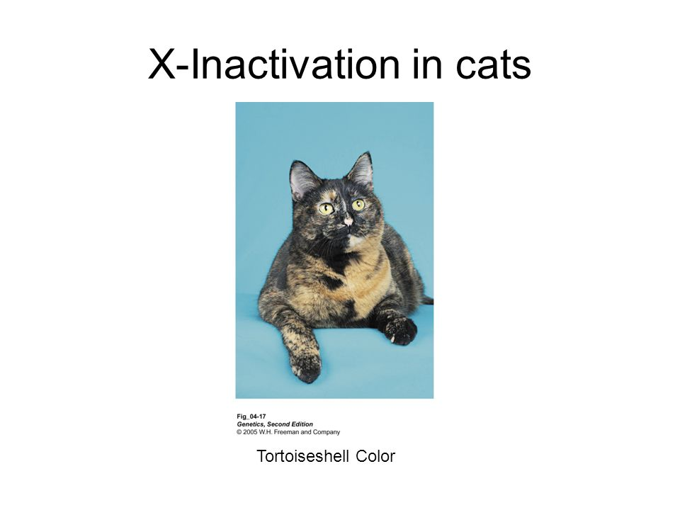 X-Inactivation in cats