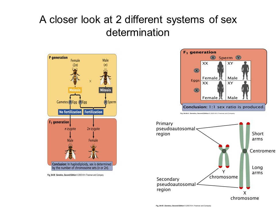 A closer look at 2 different systems of sex determination