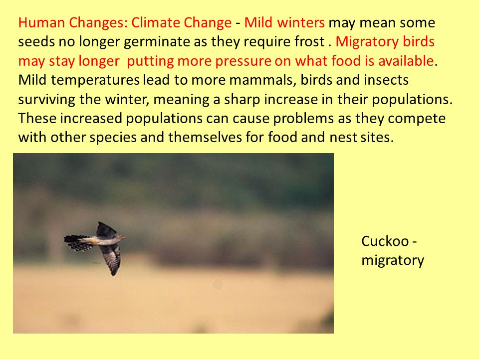 Human Changes: Climate Change - Mild winters may mean some seeds no longer germinate as they require frost . Migratory birds may stay longer putting more pressure on what food is available. Mild temperatures lead to more mammals, birds and insects surviving the winter, meaning a sharp increase in their populations. These increased populations can cause problems as they compete with other species and themselves for food and nest sites.