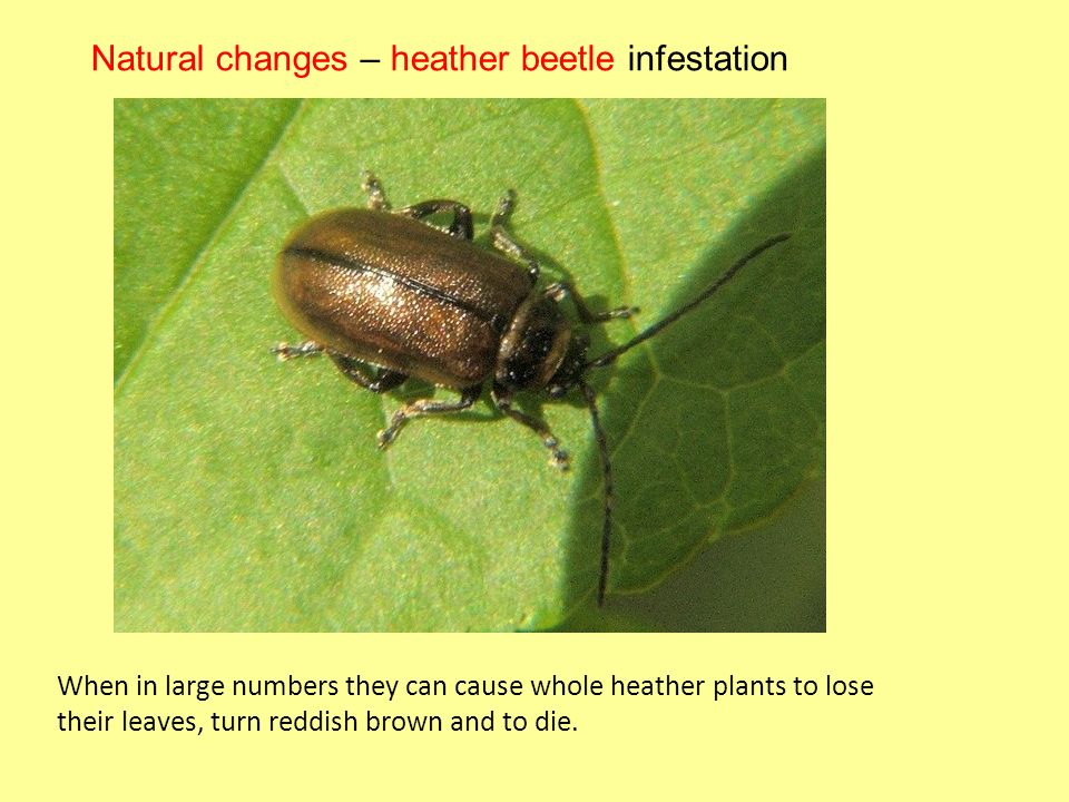 Natural changes – heather beetle infestation