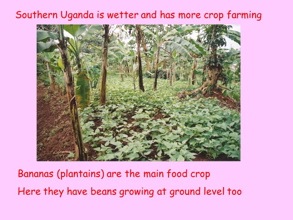 Southern Uganda is wetter and has more crop farming