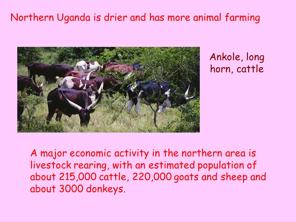 Ankole, long horn, cattle