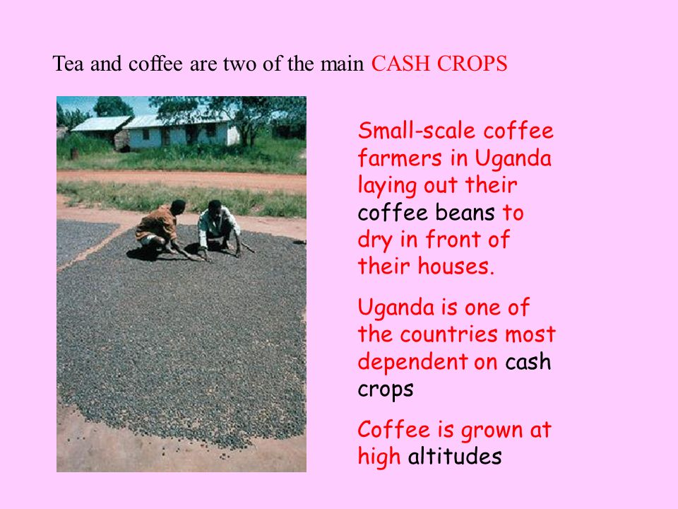 Tea and coffee are two of the main CASH CROPS